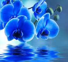 blue orchids flowers orchids blue orchid water beautiful beauty flowers