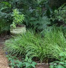 Sweet Flag Herb Plants Hoffman Nursery