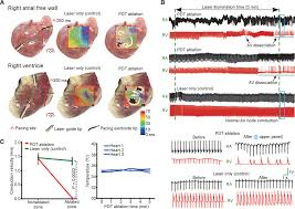 Sheep Heart Anatomy Quiz Cell Selective Arrhythmia Ablation For Photomodulation Of Heart