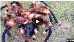 Halloween Pet Costume Pet Halloween Costume Idea Giant Spider Dog Costume Isavea2z