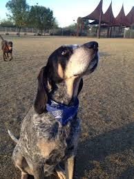 bluetick coonhound treeing this dog has the exact same face as my blue tick anna bell