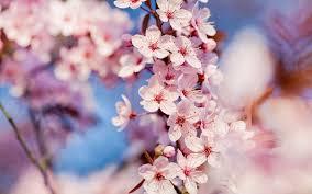 cherry blossom wallpaper by svenmueller on deviantart