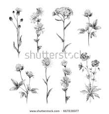 pencil drawings wild flowers stock illustration 476562745