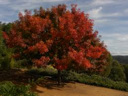 fall colors sierra foothills fall sierrafoothills trees