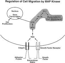 regulation of cell motility by mitogen activated protein kinase jcb