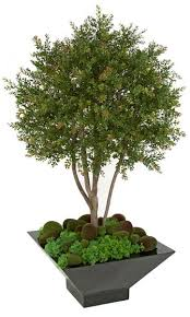 Laurel Topiary - natural multi trunks 4 foot wintergreen boxwood shrub