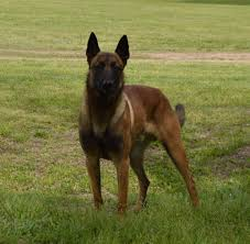belgian malinois quotes house of k9 get quote pet breeders 707 s g st porter ok