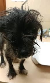 affenpinscher breeders texas view ad affenpinscher mix dog for adoption texas houston usa