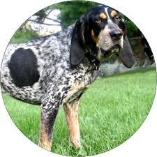 bluetick coonhound dog bluetick coonhound dog breeds iams
