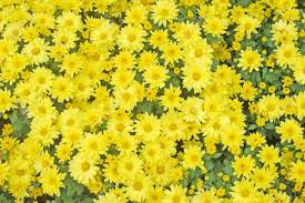 Yellow Flower - yellow flower texture stock photo picture and royalty free image