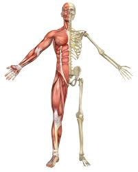 Google Body Anatomy Human Body Bones And Muscles Skeleton And Muscles Google Søgning