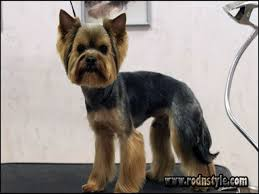 yorkie hairstyles photo gallery yorkie haircuts styles pictures 12 rod n style