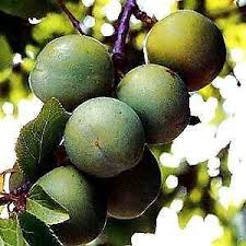 fruit trees ebay