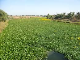 sacramento native plants invasion of the aquatic plants