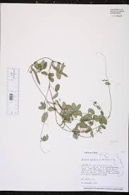 native florida air plants galactia regularis species page isb atlas of florida plants