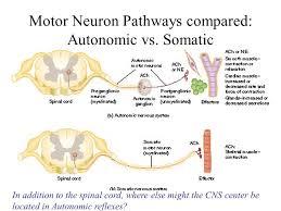 Motor Reflex Arc The Autonomic Nervous System Review The Structure Of A Reflex Arc