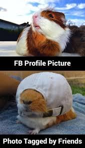 Guinea Pig Meme - what a pig animal capshunz funny animals animal captions