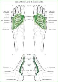 Anatomy Of The Shoulder Girdle The Individual Groups Of Zones Musculoskeletal Key