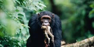bbc earth do chimpanzee wars prove that violence is innate