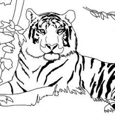typical tiger pounce hunting coloring typical tiger