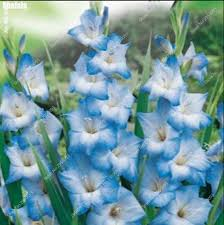 gladiolus flower gladiolus seeds not flower bulb perennial sword