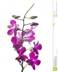 purple orchid flower purple orchid flower branch isolated on white stock photo