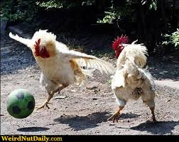 Rooster Meme - funny pictures weirdnutdaily rooster soccer