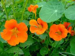 nasturtium flowers nasturtium flowers nature cultural and travel photography