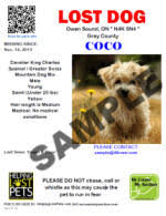 lost missing dog shih tzu chatham kent on canada