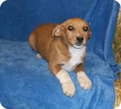 australian shepherd boxer mix australian shepherd boxer mix puppies robert is an adoptable
