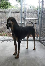 bluetick coonhound youtube 202 best black and tan coonhound images on pinterest hound dog