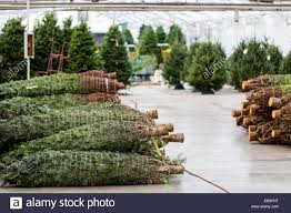 beautiful fresh cut christmas trees at christmas tree farm stock