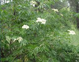 native plant network blue elderberry sambucus nigra ssp cerulea native plants pnw