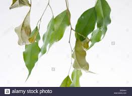 tree symbolism clip image drying leaves of potted fig tree ficus benjaminii stock