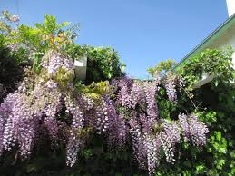 wisteria seed pods nldesignsbythesea