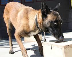 belgian shepherd wanted local private eye relies on k 9 sense simi valley acorn