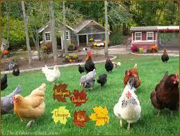 Backyard Chickens 101 by Chicken Breeds In Texas With Raising Chickens 101 Choosing Chicken
