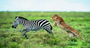 perfect zebras predators pictures on animal picture society
