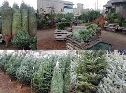 where to buy a fresh cut christmas tree in toronto map daily