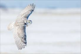 snowy owl christopher martin photography page 2