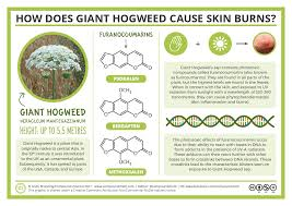 plants native to uk compound interest the chemistry of giant hogweed and how it