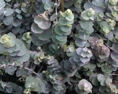 silver drop eucalyptus silverdropchen vdsteen silver drop eucalyptus gunnii raybledo