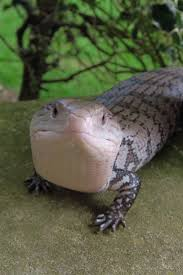halloween mask leopard gecko 134 best reptiles images on pinterest amphibians crested gecko