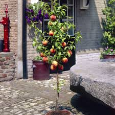 amazing dwarf patio fruit trees on a budget lovely at dwarf patio