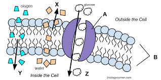 cell transport graphic
