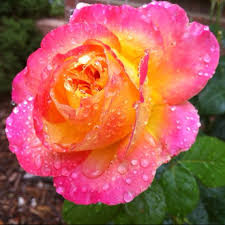 The Most Fragrant Plants - my grandmother had a rose bush with the same coloring and they