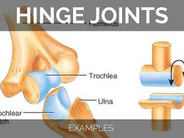 Joints Human Anatomy Pictures Of Hinge Joints Motivationquote Co Motivationquote Co