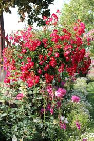 43 best rose tree images on pinterest rose trees flowers and