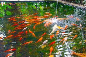 carpas golden fish ornamental fishes la laguna botanic flickr