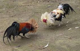 Backyard Chickens Com - introducing new chickens using the u201csee but don u0027t touch u201d method